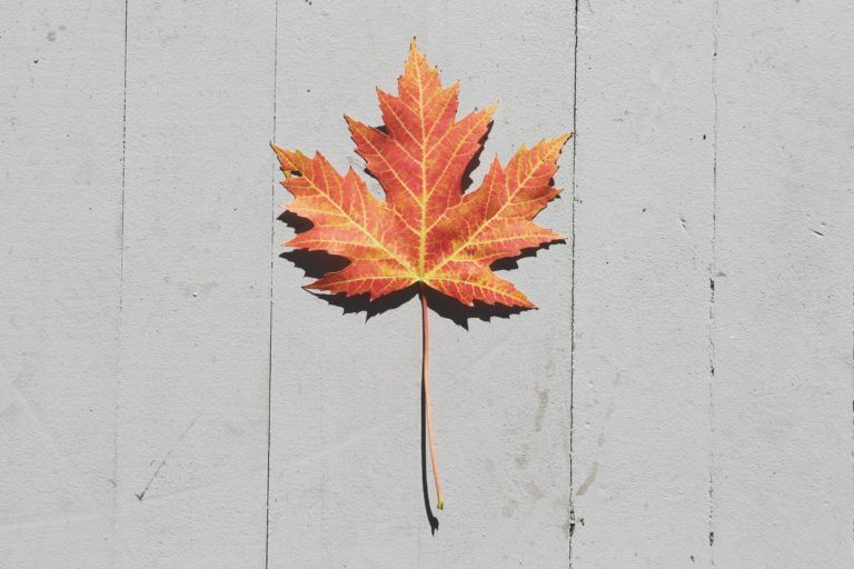 Maple leaf on wood